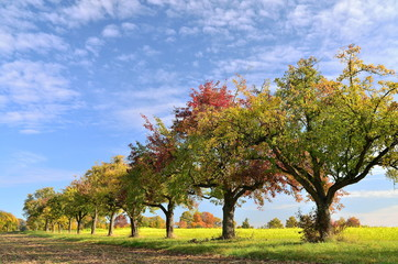 Obstbäume vor Senffeld