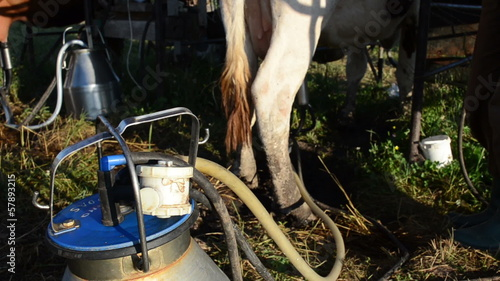 milker peasant man put modern milking equipment pumps on cow dug