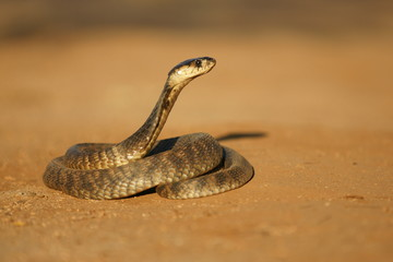 Shot of an alert Mozamique Spitting Cobra