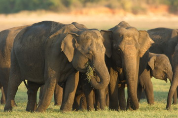Herd of elephants feeding