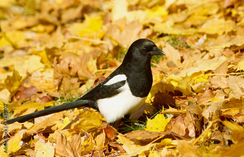 Magpie in the autumn leaves