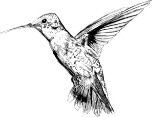 Hand drawn hummingbird