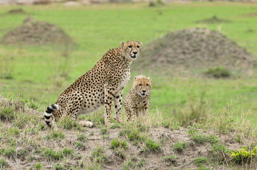 Two cheetahs on a mould