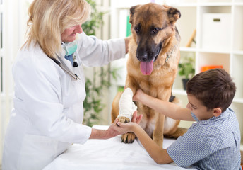 German Shepherd Dog getting bandage after injury on his leg by