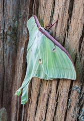 luna moth on cypress bark