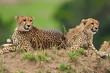 Two cheetahs resting