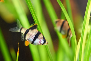 Aquarium fish - barbus tetrazona