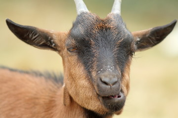 portrait of funny goat chewing