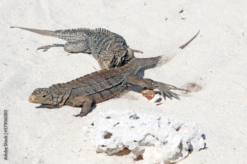 Cyclura nubila, Cuban rock iguana, Cuban ground iguana