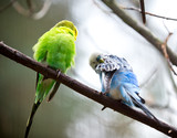 Cute Little Budgie Bird - 57907014