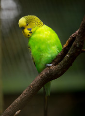 Cute Little Budgie Bird