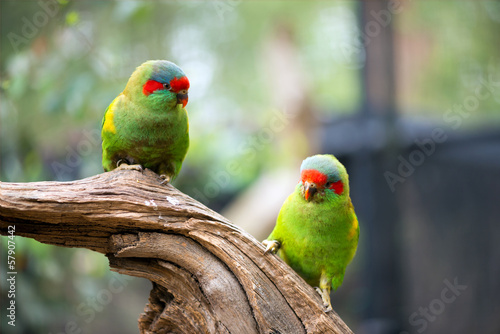 Green parrots portrait