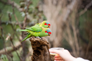 Feeding swift parrots
