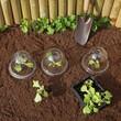 plantation de salades sous cloches en plastique