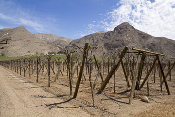 Vineyard cultivation. Chilean Andes.