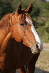 Beautiful chestnut quarter horse in autumn