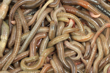 A lot of large earthworms close-up