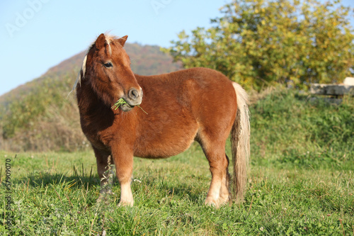 Gorgeous minishetland pony in autumn