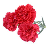 Carnation flowers isolated on white background