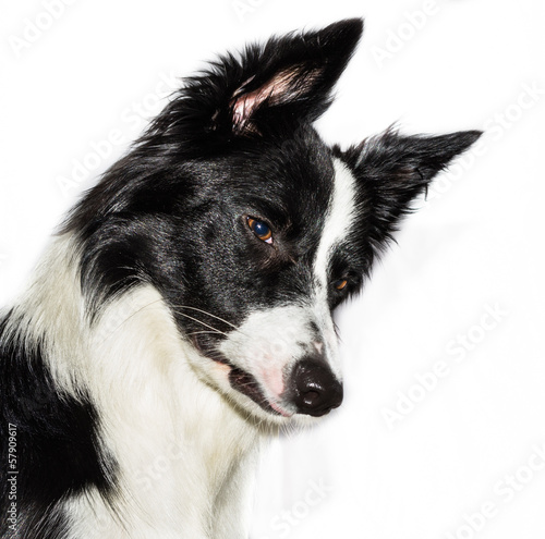 border collie close up