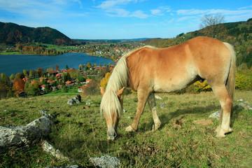 grasendes Pony im Alpenland