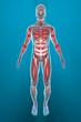 Uomo muscoli corpo umano ai raggi x frontale