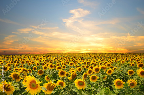 Poster Landschappen sunflowers