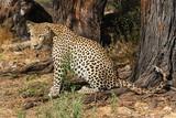 leopard nachdenklich
