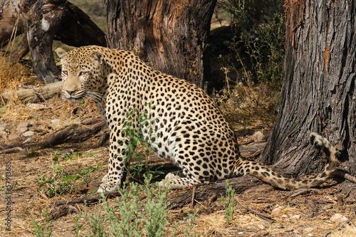 Foto op Plexiglas Luipaard leopard nachdenklich