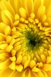 Yellow chrysanthemum center close-up shot