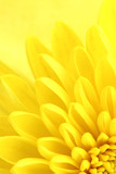 Yellow chrysanthemum petals macro shot