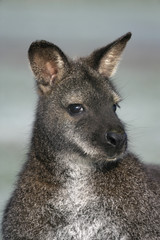 Red-necked wallaby,  Macropus rufogriseus,