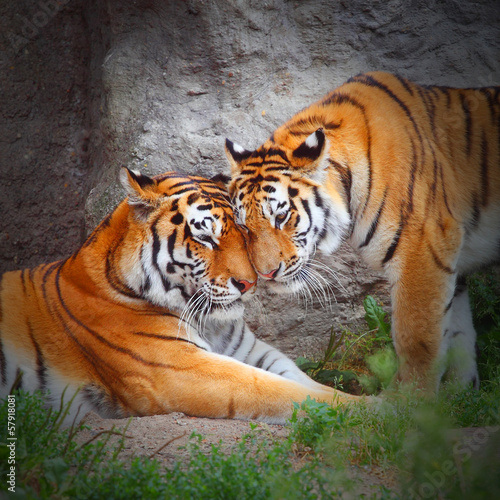 Staande foto Tijger Tiger's couple. Love in nature.