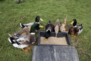 Rouen domestic duck