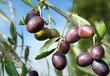 canvas print picture - Reife Oliven vor Ernte Olivenbaum Toskana - Ripe Olives