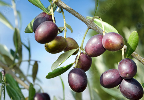 canvas print picture Reife Oliven vor Ernte Olivenbaum Toskana - Ripe Olives