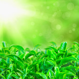 Fresh green tea leaves with sun beams and sunny bokeh