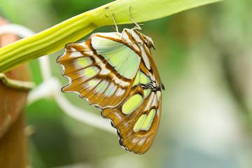 Malachite Butterfly(Siproeta stelenes)