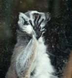 Ring-tailed lemur (Lemur Catta) behind a glass aviary zoo poster