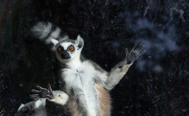 Ring-tailed lemur (Lemur Catta) behind a glass aviary zoo