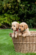 Puppies in a wicker basket