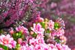canvas print picture - Kalanchoe und Heidekraut in rosa