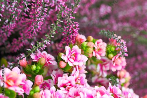 canvas print picture Kalanchoe und Heidekraut in rosa