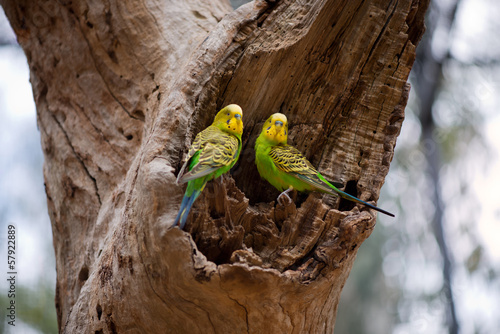 Couple of budgerigar parrots on the nest