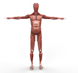 Musculature Front View poster
