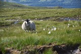 Scottish blackface - sheep near Ben Nevis, Scottish Highlands