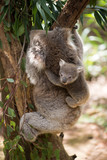 Koala with baby climbing on a tree