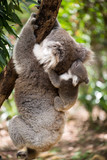 Koala with joey climbing on a tree