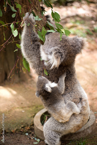Foto op Aluminium Koala Koala and joey eating eucaliptus leaves