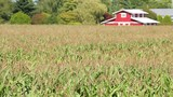 Cornfield in Sunshine, Red Barn